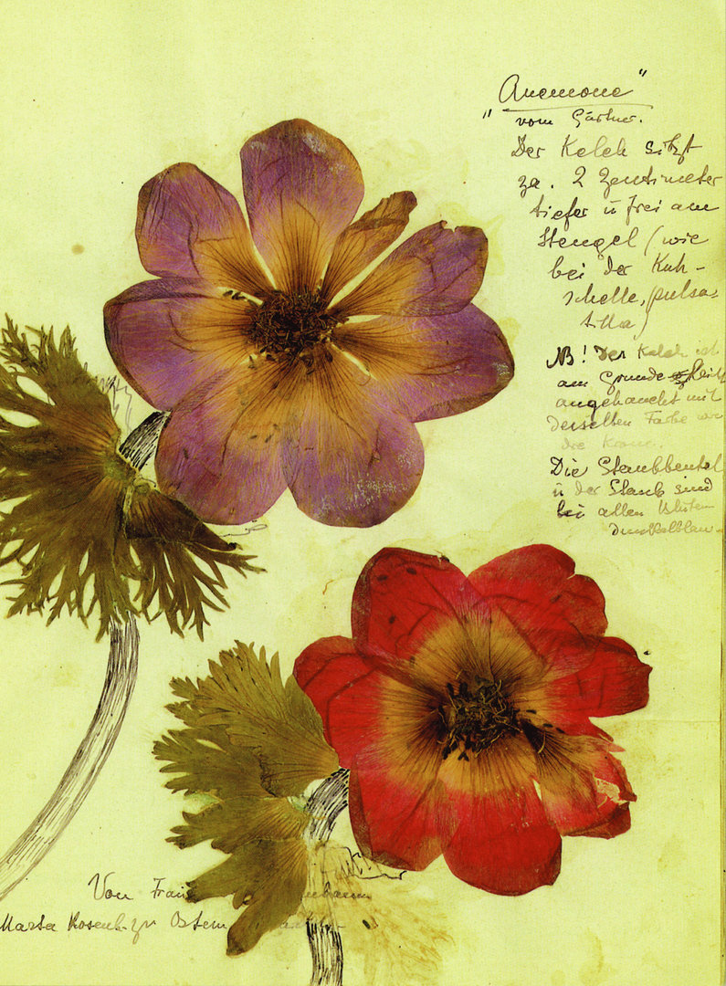 Anemoner ett av flera Postkarten med motiv från Rosa Luxemburgs Herbarium utgivna av förlaget Dietz Berlin